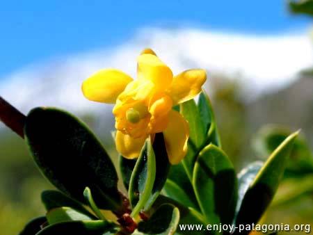 flora-flor-calafate-01.jpg