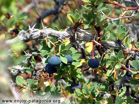 fruto calafate