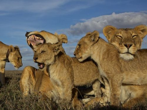 lion-pride-serengeti-nichols_48275_600x450